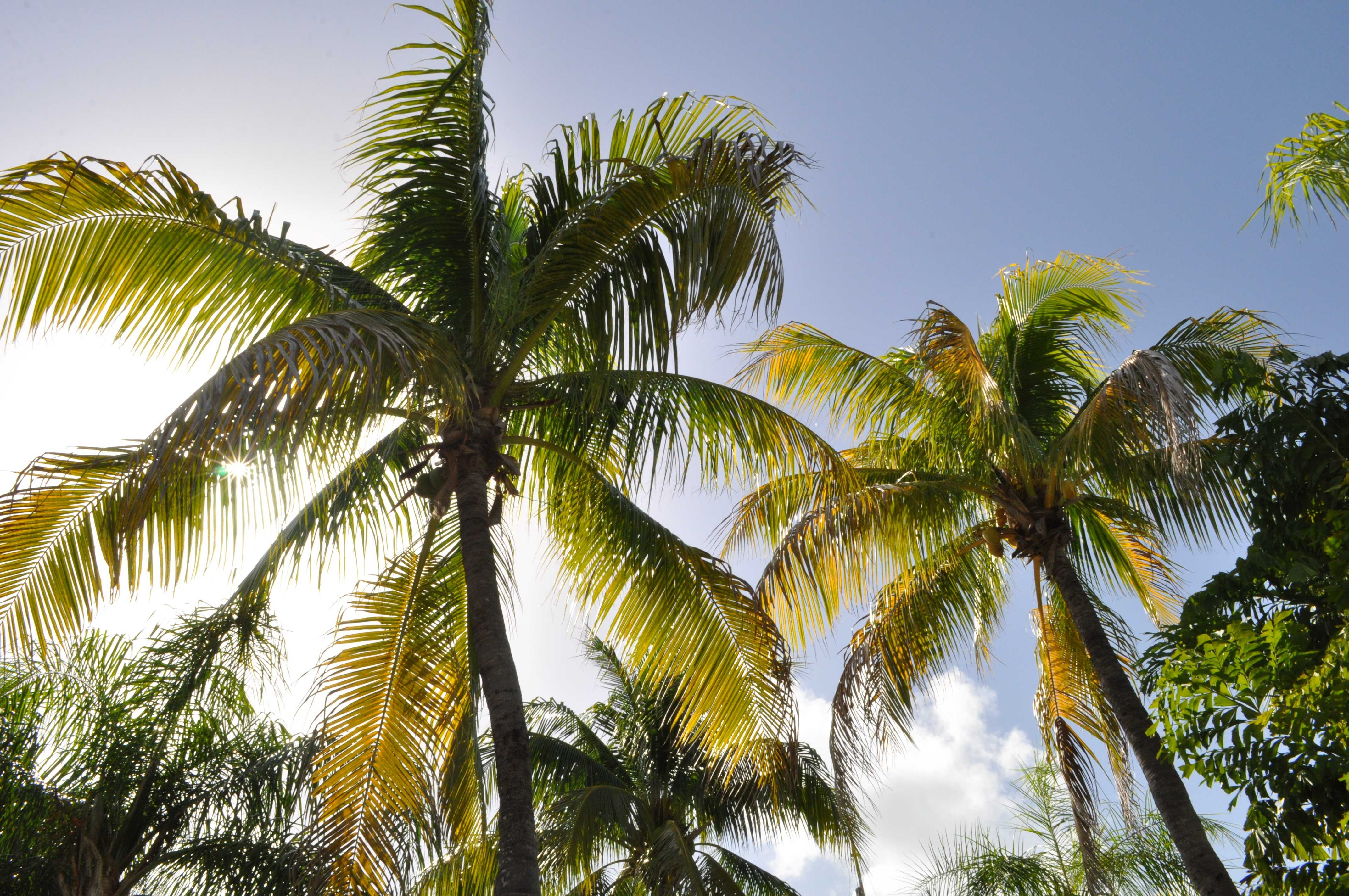 original_coconut-trees-1172459